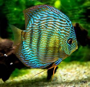 17 Best images about Discus on Pinterest | Fish aquariums ...