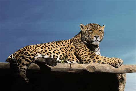 Jaguar Photo by Captivating Facts About The Food Jaguars Eat And Their Habitat