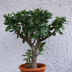 Chinesischer Geldbaum Kaufen : affenbrotbaum pfennigbaum geldbaum unbewurzelte ~ Michelbontemps.com Haus und Dekorationen