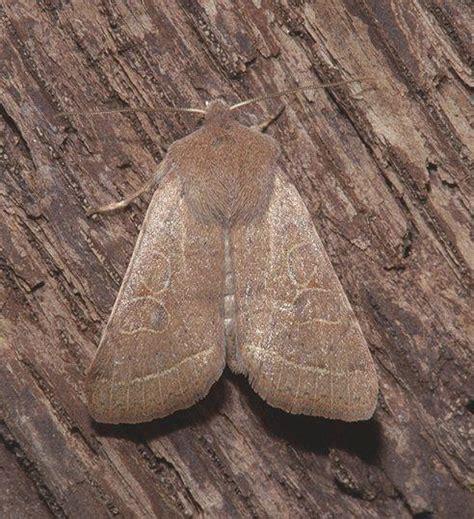 http://ftp.funet.fi/index/Tree_of_life/insecta/lepidoptera/ditrysia/noctuoidea/noctuidae/hadeninae/orthosia/