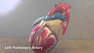 External Anatomy Of The Heart