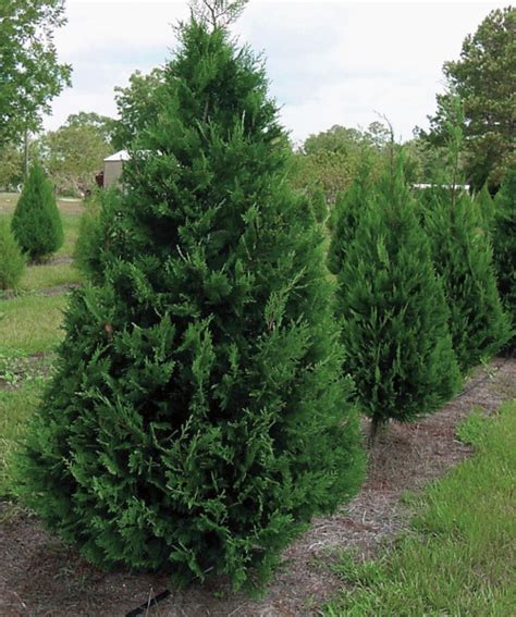 fast growing evergreen trees leyland cypress tree is a fast growing coniferous evergreen tree with a feathery texture that is