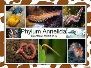 Phylum Annelida - Class Polychaeta, Class Oligochaeta ...