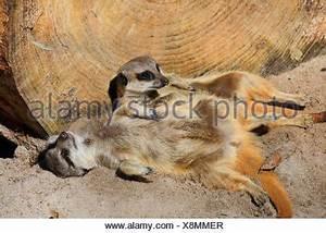 Kuscheln Auf Englisch : erdm nnchen oder schlank tailed suricate liegen in der sonne aalen stockfoto bild 49611730 alamy ~ Eleganceandgraceweddings.com Haus und Dekorationen