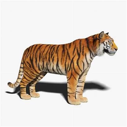 Tiger 3d Fur Models Turbosquid Fbx Hq