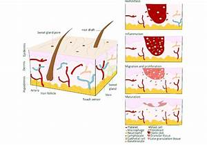 Skin Structure And Wound Healing Phases