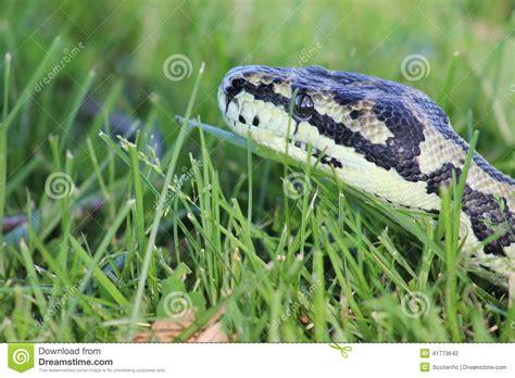 pitone tappeto serpente pitone tappeto della giungla foto stock
