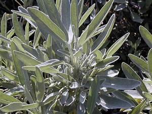 La Sauge Plante : une plante sur tous les fronts ii la sauge ~ Melissatoandfro.com Idées de Décoration