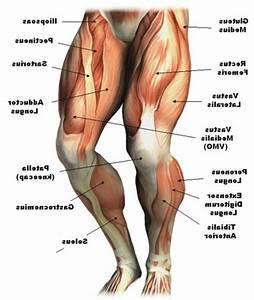 Leg Muscle Anatomy Chart