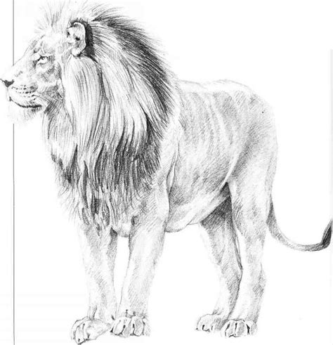 pictures lion sketches  pencil drawings art gallery