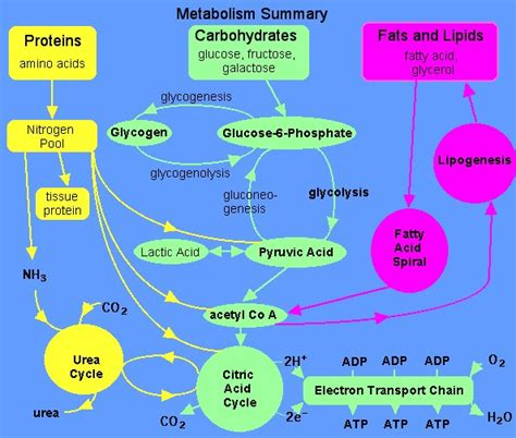 metabolic pathways humpath com human pathology