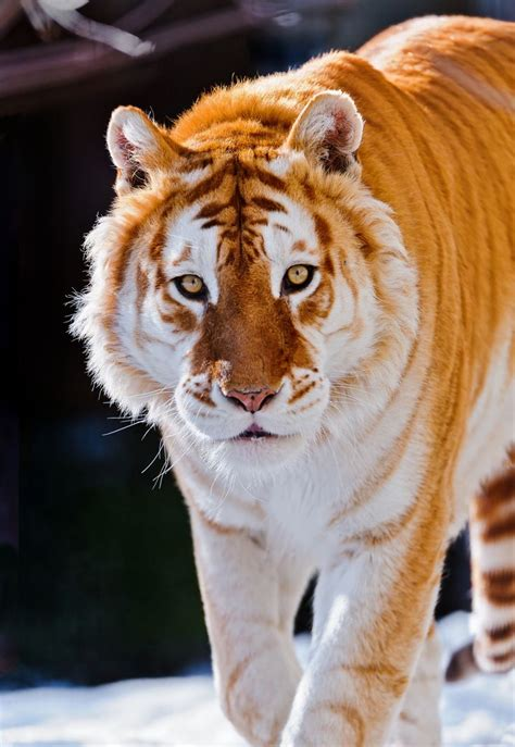 Ginger Animal The Week Golden Tiger Color Variation