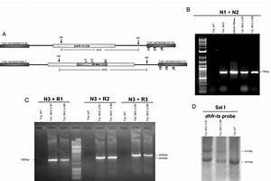 Evaluation Of High Efficiency Gene Knockout Strategies For