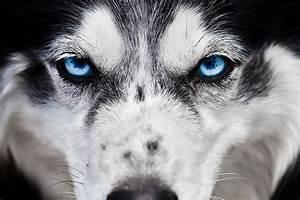 blue eyes wolves | Tumblr