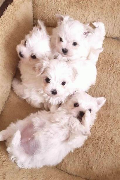 Maltese Puppies Castle Dog Teacup Dogs Best10en