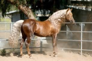 Chocolate Palomino Morgan Horse
