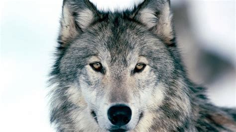 Wolf Wallpaper by Hd Wolf Wallpapers 1080p 71 Images