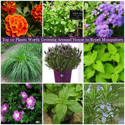 what of plants repel mosquitoes 10 plants worth growing around house to repel mosquitoes