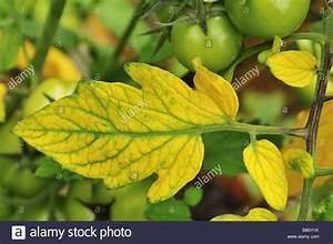 Feuille De Tomate : jaunissement entre les nervures des feuilles de tomate est ~ Melissatoandfro.com Idées de Décoration