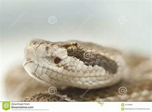 Rattlesnake Extreme Close-up Of Head Royalty Free Stock ...