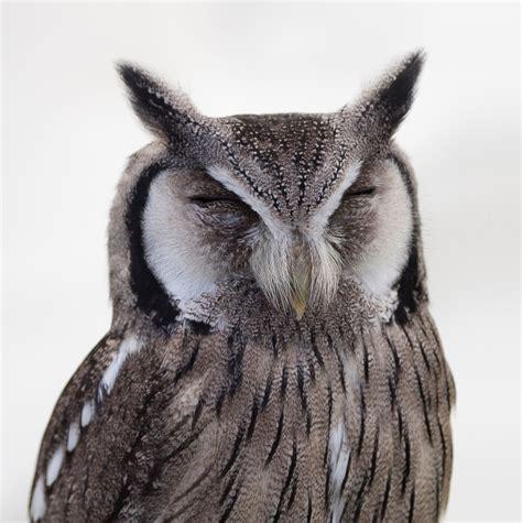 white  black owl  stock photo