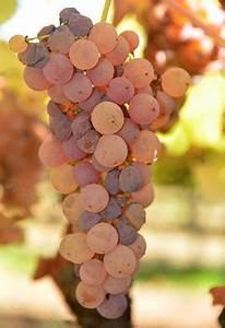 Jobs For A History Major Botrytis Noble Rot Fungus Reprograms Wine Grape