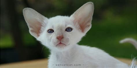 11 Different Breeds Of Cats With Big Ears Cat Cat Cat