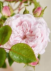 Kletterrose New Dawn : kletterrose new dawn rosa new dawn g nstig online kaufen ~ Michelbontemps.com Haus und Dekorationen