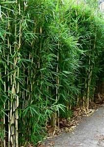 Bambus Pflege Zimmerpflanze : bambus bambus als k belpflanze pflege pflanzgef e berwinterung terrasse pinterest ~ Frokenaadalensverden.com Haus und Dekorationen