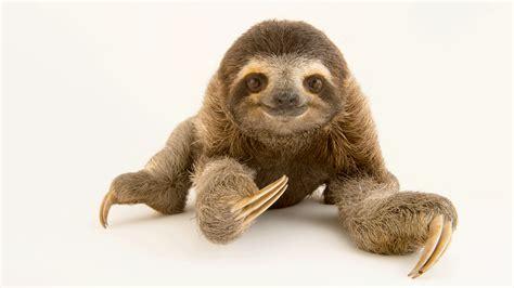 Sloth Images Three Toed Sloth Wallpapers Animal Hq Three Toed Sloth
