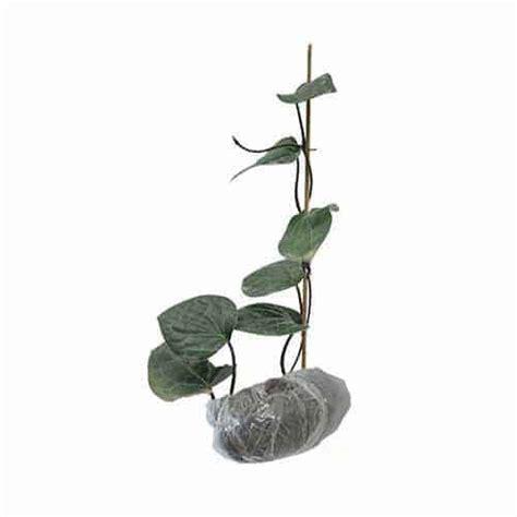 bibit tanaman obat sirih hitam jual tanaman sirih hitam bibit