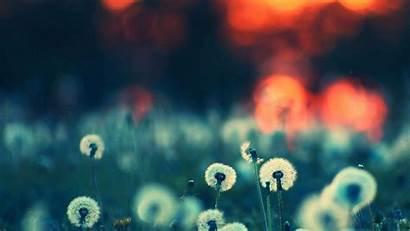 Nature Imac Desktop Wallpapers Dandelion Flower Wallpapersafari