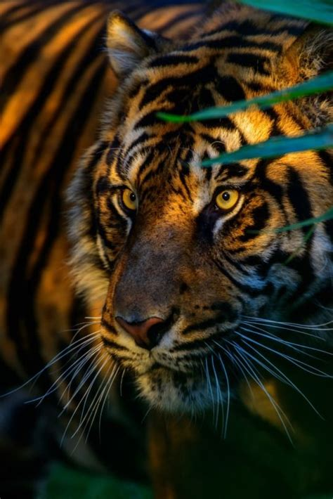 Best Images About Nature Tiger Golden Siberian