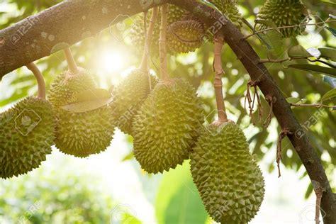 musang king durian   offline  china