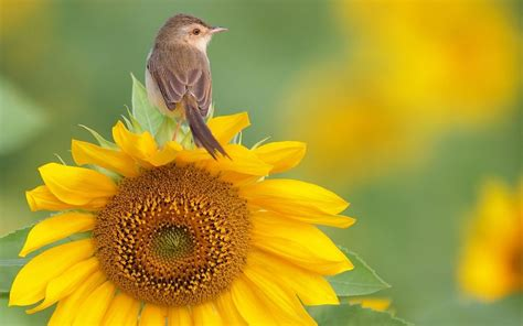 nature flowers birds sunflowers yellow flowers warblers