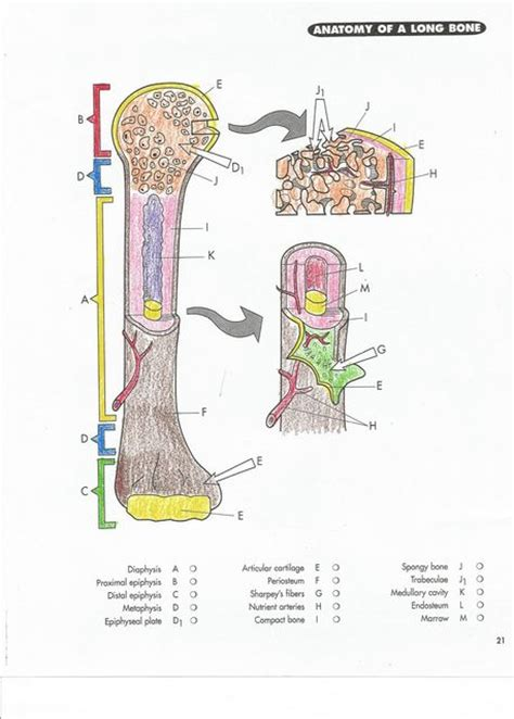 anatomy of a bone coloring colleton county high school teachers file manager