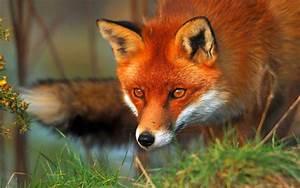 The Red Fox  Vulpes Vulpes