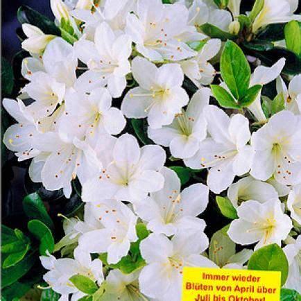 rhododendron durch stecklinge vermehren rhododendron durch ableger vermehren plants