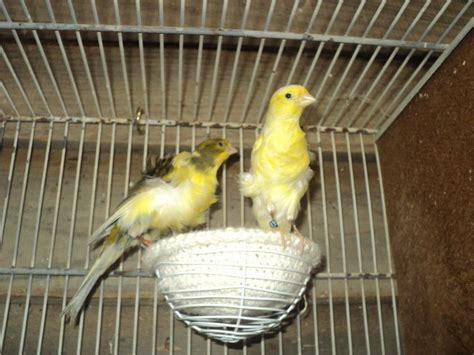 si鑒es de vendo distintos tipos de canarios y catitas aves comunidad mascotadictos