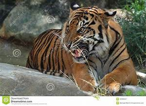 Tiger Growl stock image. Image of bengal, india, relaxed ...