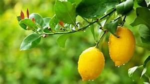 5 Common Citrus Tree Problems Nz
