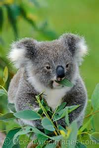 Koala Bear Eating Leaves
