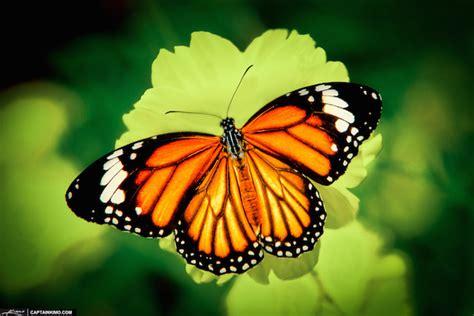 segi4 kupu kupu 30 fakta informasi menarik tentang kupu kupu