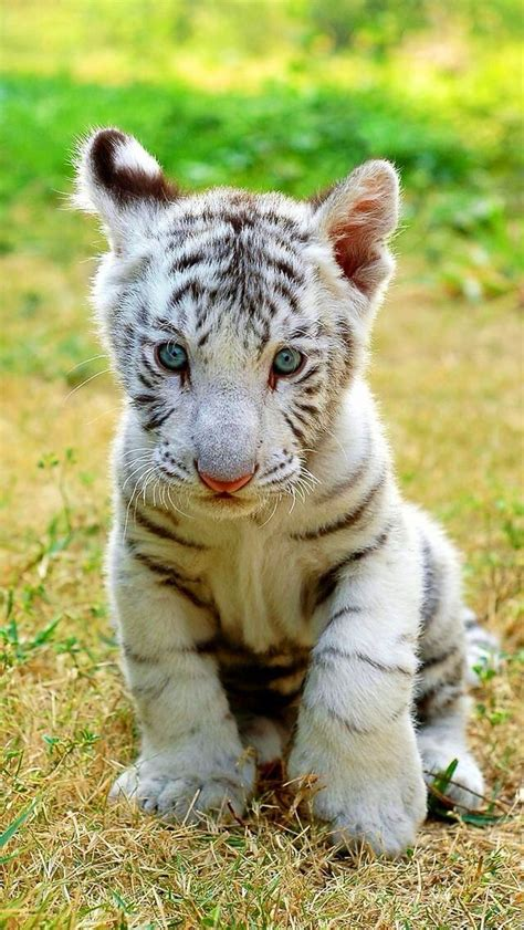 baby tiger white 1000 images about photography on