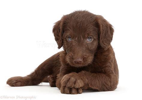 Dog Chocolate La Doodle Puppy P O Wp