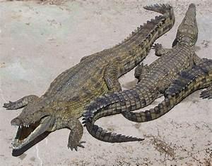 Archosaur - Simple English Wikipedia, the free encyclopedia