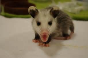 What Does a Baby Opossum Look Like