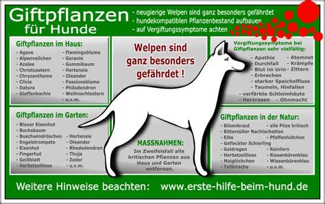 Pilze Im Garten Giftig Für Hunde by Erste Hilfe Beim Hund Giftige Pflanzen