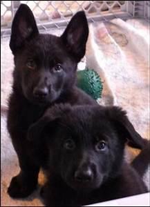 8 weeks - black German Shepherds | Dogs I'd Like To Hug ...
