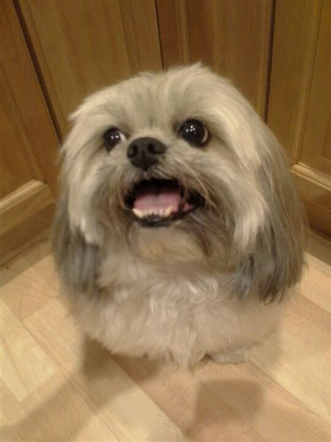 where to take baby for haircut 17 best images about lhasa apso zoey on stains 5449